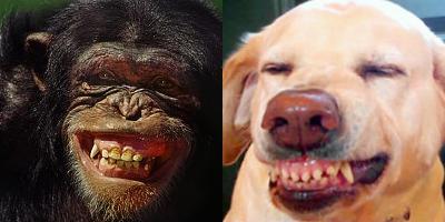 A gauche : un chimpanzée effrayé; à droite : un chien en posture de soumission (source)